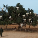 Goats in trees. As you do.
