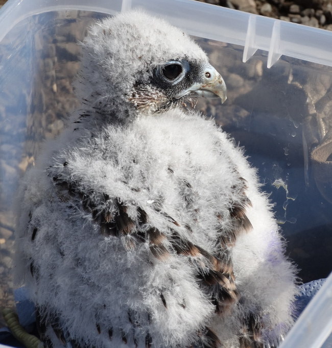 Fledgling bird of prey