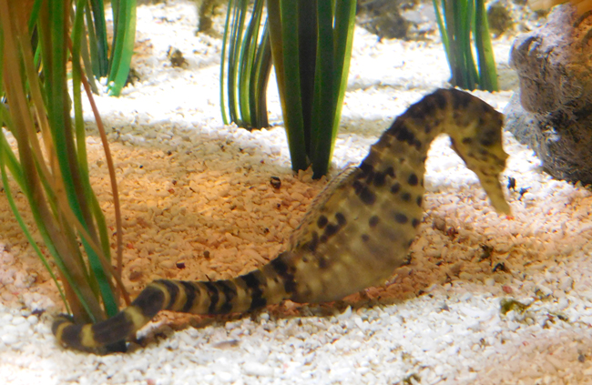 Seahorse dad with babies on board