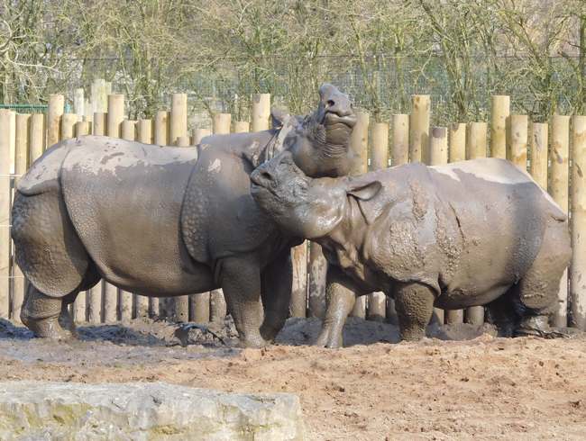 Rhinos love mud wrestling