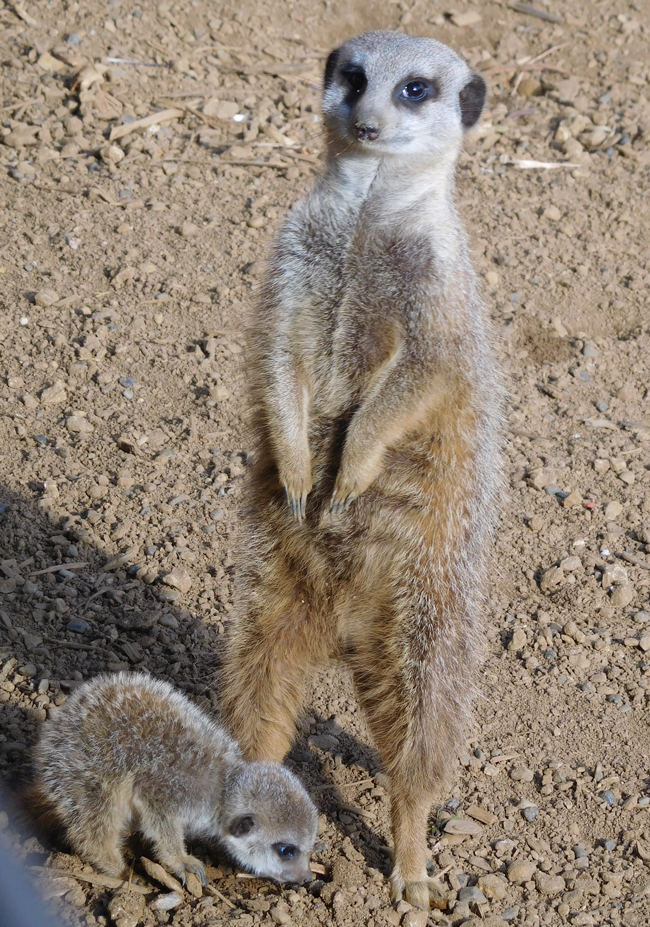 Meerkat mum and far-too-adorable-for-words baby