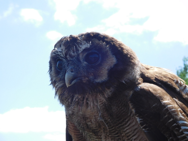 Rolo the owl