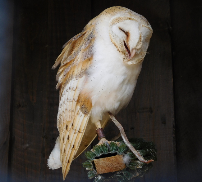 Believe this Barn Owl is ticklish or laughing at his own joke, either way he looks happy